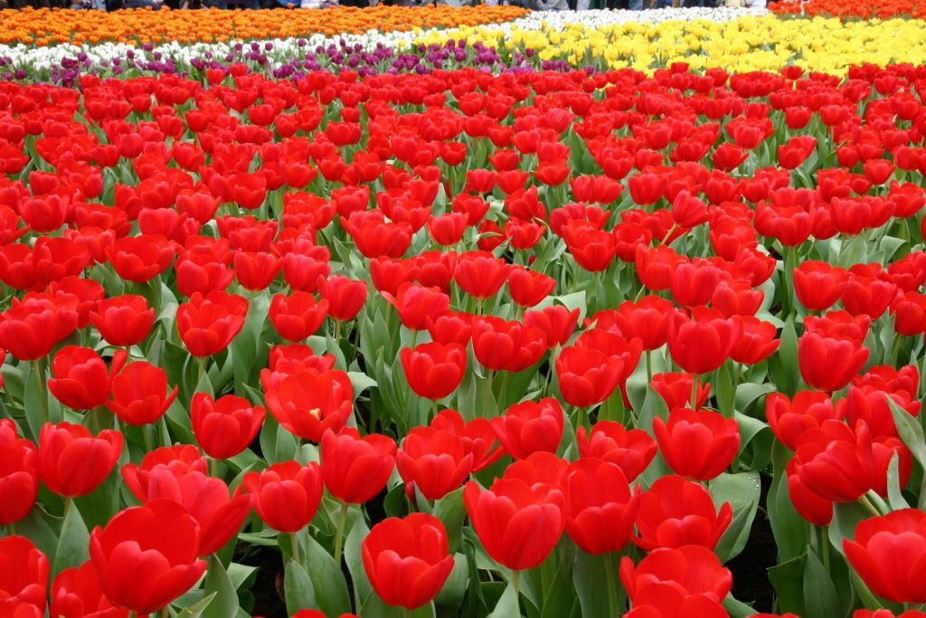 tulips-1355375